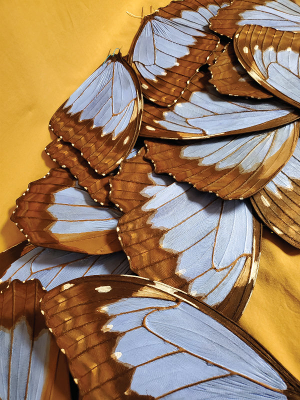 Zalme's newest blue morpho wings are nearly finished.